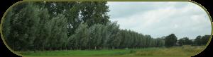 Bij een bomeninventarisatie zijn diverse schietwilgen opgemeten en op kwaliteit beoordeeld