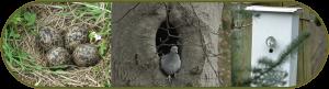 Eieren, nesten en nestkasten worden onderzocht bij een broedvogelinventarisatie