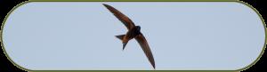 Gierzwaluw bij ondergaande zon tijdens een gierzwaluwonderzoek bij renovatiewerkzaamheden