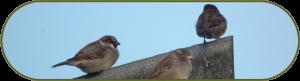 Huismussen op een koeienstal, veelvoorkomende soort bij ecologisch onderzoek