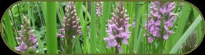 Brede orchissen die zijn behouden doordat de uitvoerder zich hield aan een ecologisch werkprotocol